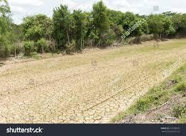 Rice Seedlings Growing On Barren Fields Stock Photo (Edit Now) 379158079