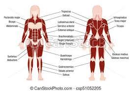 Muscles Chart Description Muscular Body Woman