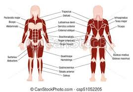Woman Anatomy Chart Muscles Chart Description Muscular Body Woman