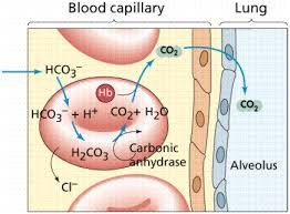 Gas Exchange Chart Respiratory System