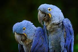 hyacinth macaw eggs