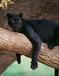 black panther   Facts, Habitat, & Diet