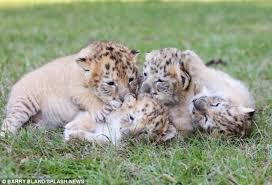 cute baby liger. Plain Liger Whiteligercubs4 Inside Cute Baby Liger