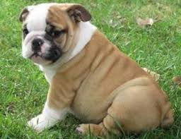 akc registered english bulldog puppies many chionships in bloodline ton nj
