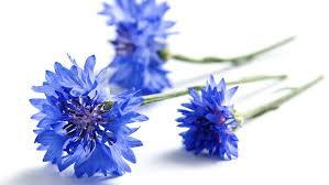 「fleur bluet」の画像検索結果