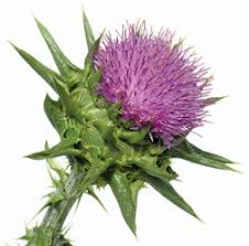 Image result for milk thistle herbs