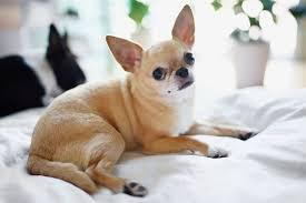 Chihuahua Color Chart Chihuahua Full Profile History And Care