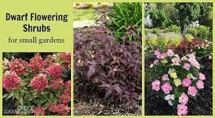 dwarf flowering shrubs for small