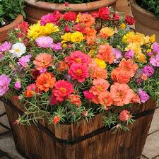 Portulaca (Moss Rose) and Where they Grow - Watters Garden Center