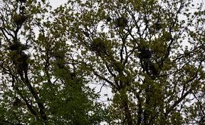 Znalezione obrazy dla zapytania gawrony gniazda