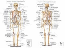 Anatomy Chart Muscular System 2019 Human Body Anatomical Chart Muscular System Campus Knowledge Biology Classroom Wall Painting Fabric Poster32x24 17x13 07 From Kaka1688 10 04