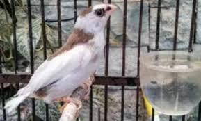 Burung prit gantil mp3 download gratis mudah dan cepat di metrolagu, stafaband. Mengenal Jenis Burung Emprit Beserta Harga Di Pasarannya