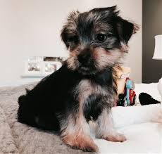 teacup puppy yorkie. Wonderful Puppy Welcome To Huston Yorkie Puppies For Teacup Puppy R