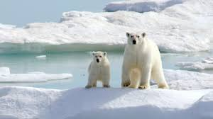 Polar bears could be extinct by century's end, study says - Los Angeles  Times