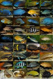 Small Picture 166 best fresh water cichlids images on Pinterest Cichlids