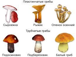 Шляпочные грибы съедобные и ядовитые урок Биология Бактерии  3 Шляпочные грибы съедобные и ядовитые