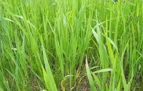 tall grass texture. Tall Grass Texture. Free Textures Download Source Texture S