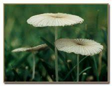 Florida Mushroom Identification Chart Urban Mushrooms What Mushroom Is Growing In My Yard
