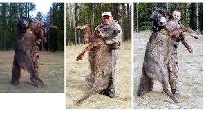 grey wolf size red wolf awareness 4 the grey wolf a reintroduction