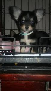 longhair chihuahua puppies in