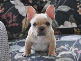 french bulldog puppies for french bulldog breeders