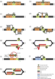 Genome Editing Programmable Genome Editing Tools And Their Regulation For Efficient