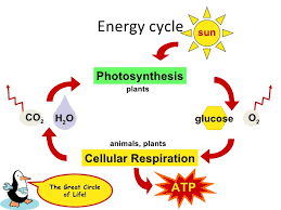 Comparing Photosynthesis And Cellular Respiration Lessons