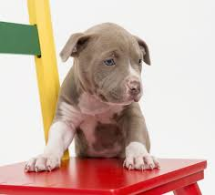 terrier pitbull mix puppies. Unique Terrier Pit Bull Puppy With Chair Terrier Pitbull Mix Puppies U