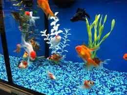 petco goldfish. Brilliant Goldfish Photo Of Petco  Avon OH United States Fancy Goldfish Tank Close And Goldfish E