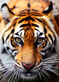 tiger face google search on we heart it