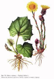 Курсовая работа Лекарственные растения и сырье содержащие  Курсовая работа Лекарственные растения и сырье содержащие полисахариды