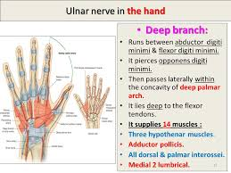 deep branch ulnar nerve in the hand