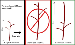 How To Prune A Plum Tree  YouTubePrune Fruit Tree