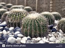 Cactus Succulent Landscape Design Succulent Plants With Thorny Spines Cacti Grow On Pebble