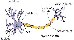 Neuron Simple English Wikipedia The Free Encyclopedia