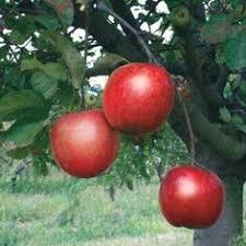 Citrus In Virginia You Bet U2013 Gettinu0027 FreshDwarf Fruit Trees Virginia