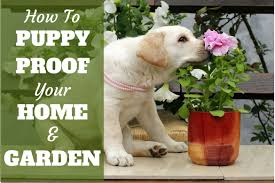 how to puppy proof your home and garden written next to a yellow lab puppy sniffing