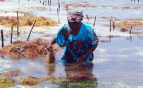 photo essay women are feeding the world modern farmer the seaweed mamas live and work on the island of zanzibar off the coast of tanzania in east africa such a high demand for seaweed for use in food