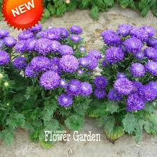 tropical outdoor lighting. big sale100 seedbag light purple callistephus chinensis flower seeds balcony potted bonsai plant aster seedpqz1xm tropical outdoor lighting