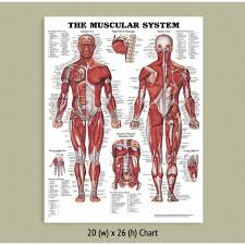 Back Talk Systems Colorado Muscular System Anatomical Chart