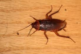 What Attracts Cockroaches To Your Home Angies List