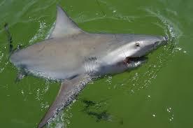 sharp shark. shark close up 04 sharp.jpg 2255kb jul 12 2007 07:44:47 pm sharp shark o
