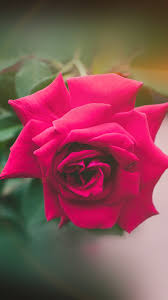 my89-red-rose-nature-flower-wood-love ...