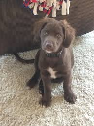 2017 lovely chocolate labrador husky mix cost picture