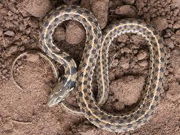 checd garter snake
