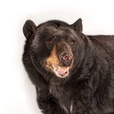 American <b>Black Bear</b> | National Geographic