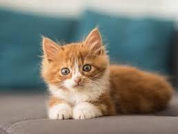 fluffy white and orange cats. Unique Cats Curious Kitten And Fluffy White Orange Cats O