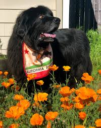 not every dog needs a bib but newfies well they kinda do known for their drooling abilities it s a good idea to keep a few handy especially when