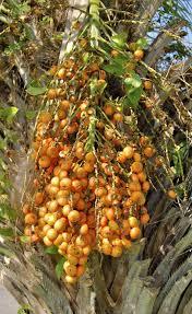 Palm Tree Berries Stock Photo Royalty Free Image 9632782  AlamyPalm Tree Orange Fruit