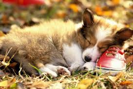 However, at night, your corgi should sleep from 6 to 10 hours. Pembroke Welsh Corgi Puppy Beautiful Sleeping On A Red Shoe Free Hd